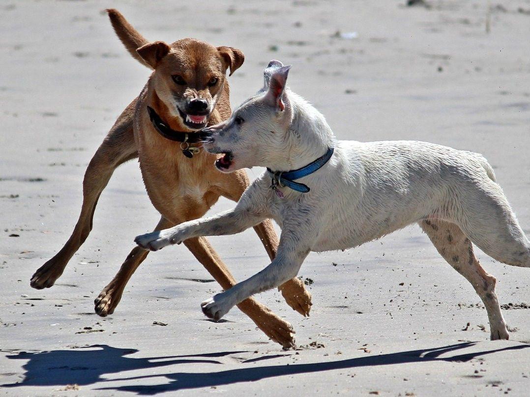 Heeft u letselschade opgelopen door een hond die met een andere hond in gevecht was? Dan is de eigenaar van de bijtende hond aansprakelijk te stellen voor uw letselschade.