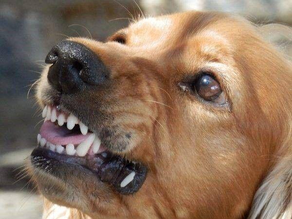 Bijtende hond